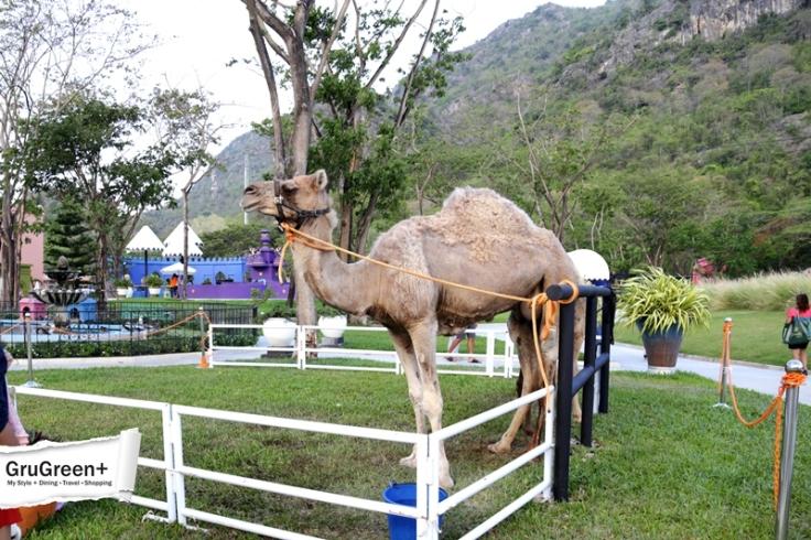 รีวิว_Camel_Republic_หัวหิน_by_GruGreenPlus_11